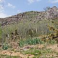Éternel retour des asphodèles au printemps