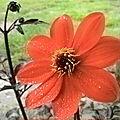 Fleur de dahlia