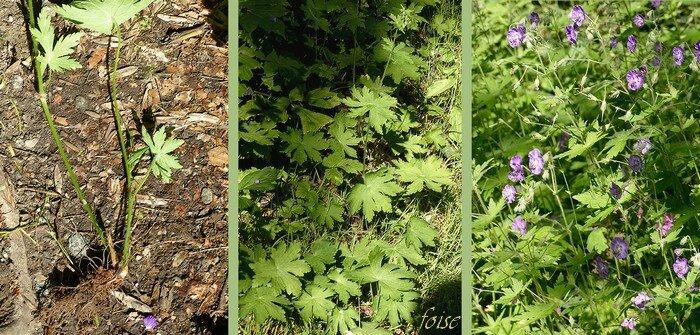 souche épaisse noueuse oblique tiges dressées feuillées