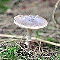 Amanita porphyria (1)