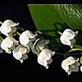 fleurs-et-muguets--2-