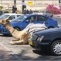 parking_lot_for_camel