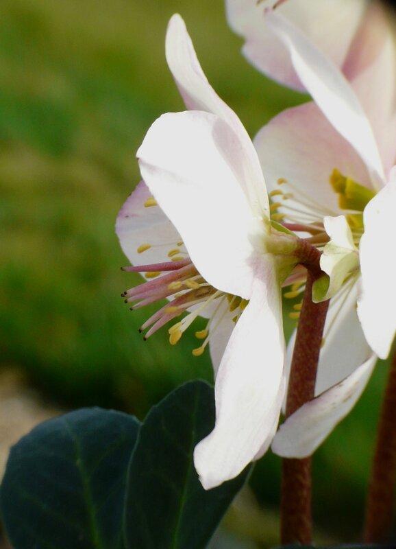 Hellebore niger (3)