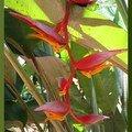 heliocania lathispatha 2