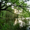 le chêne va boire à l'étang...