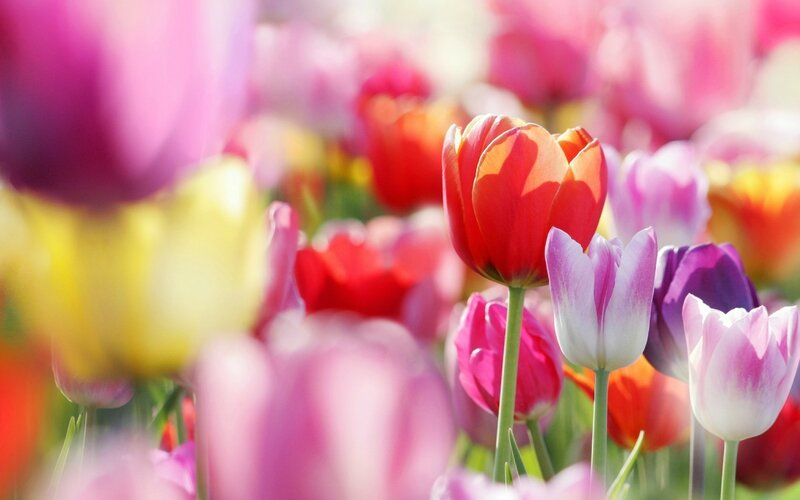 FLEURSSpring-flowers-tulips_2560x1600