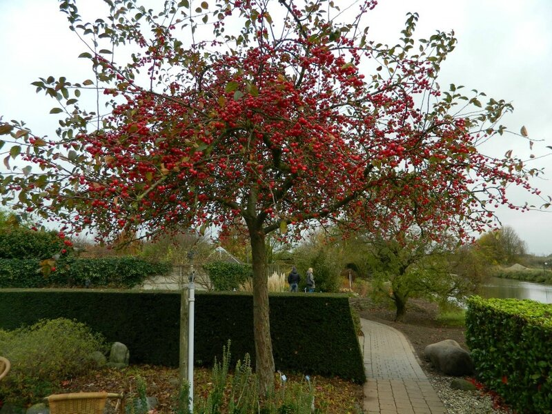 malus_red_sentinel_rode_sierappel_8-10_in_pot_9