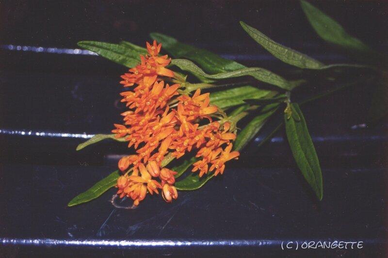 Asclépias
