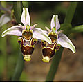 Ophrys des corbières : ophrys corbariensis