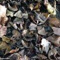 Récupérer et recycler les feuilles mortes