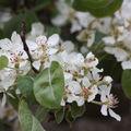 2009 05 12 Fleurs de poirier