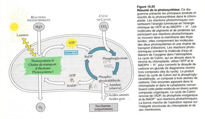 Fig 10-20 un résumé de la photosynthèse