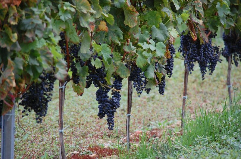 VENDANGES ROUGES 2015 (6)