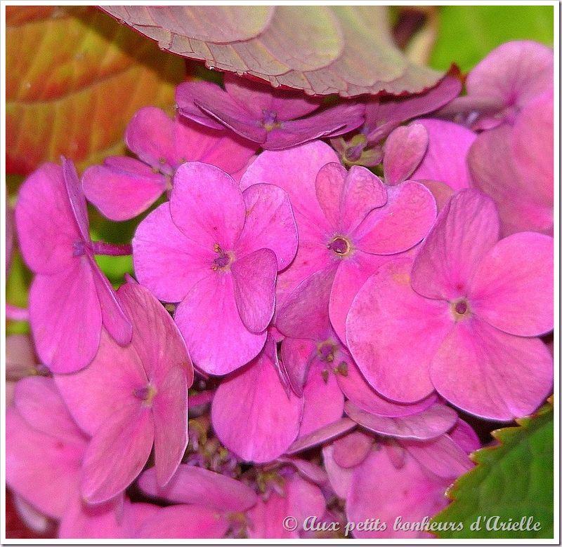 Hortensias aux couleurs de l'automne (11)