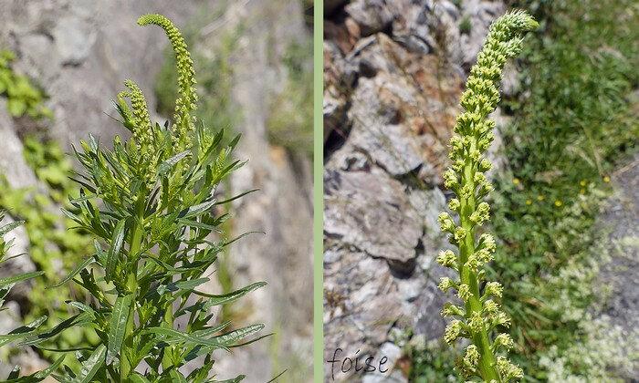 fleurs jaune-verdâtre en grappes spiciformes longues denses raides