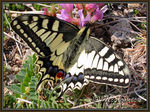 Papillon_Machaon_0002