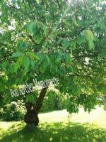 cerisier Mamounette