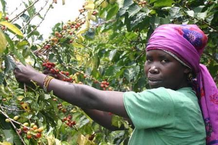 Cameroun : les Filières cacao et café en panne