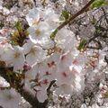 Sakura - une pensée pour les japonais