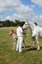 Poulain Boulonnais par Unic de Colinchtun et Destinée du Boncoin - 13 Juin 2017 - Concours d'élevage local - Bourbourg (59)