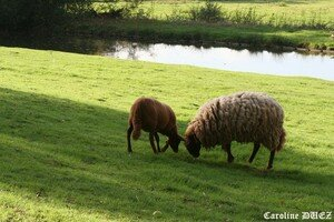 Moutons_Orl_ans_27_oct_2006_014_copie