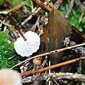 Marasmius scorodonius (4)