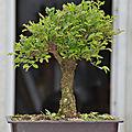 Orme du japon nire - japanese elm nire