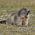 Bientôt l'hibernation pour les marmottes