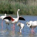 Flamants roses 08