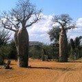 Baobab Reniala