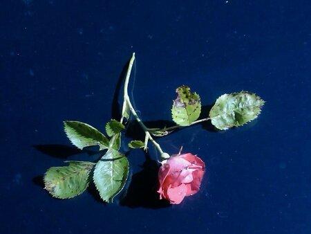 rose juliette