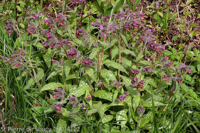 Pulmonaria longifolia subsp delphinensis