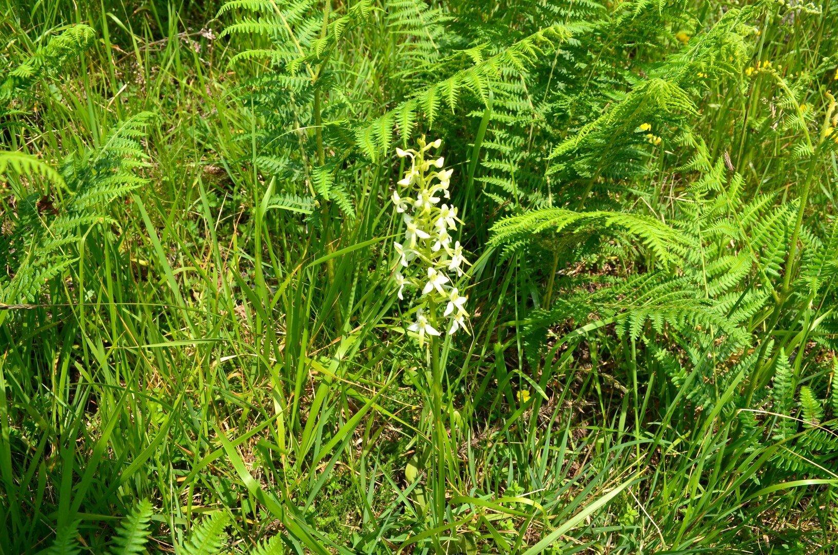Platanthère à deux feuilles, platanthera bifolia...