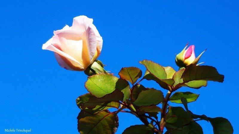 Rose et bouton 2310152