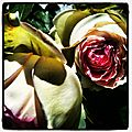 Rose_1_Copyright_Cathy_Wagner