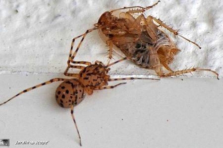Araignée cracheuse - Scytodidae
