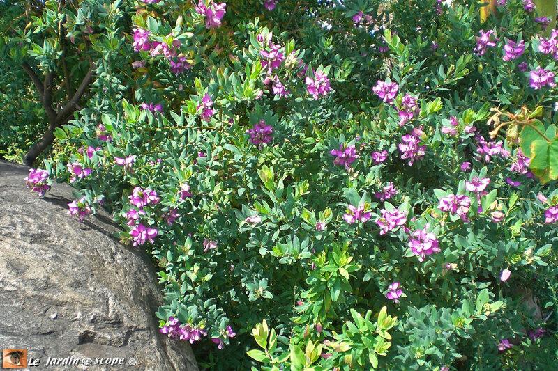 Polygala-myrtifolia-3