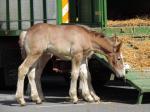 Pouliche de Tecnoma et Curieuse du Hameau - 2 Juin 2019 - Concours d'élevage local - St Pol sur Ternoise (62)