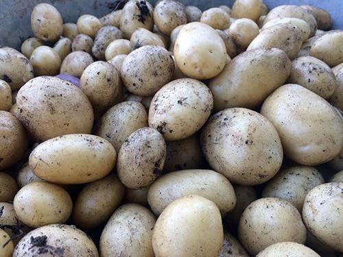 13 Juillet : nos pommes de terre sans la tourner : récolte