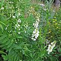 galega officinalis blanche
