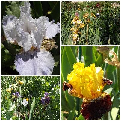 Iris du B 2 (14)