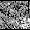Printemps black and white