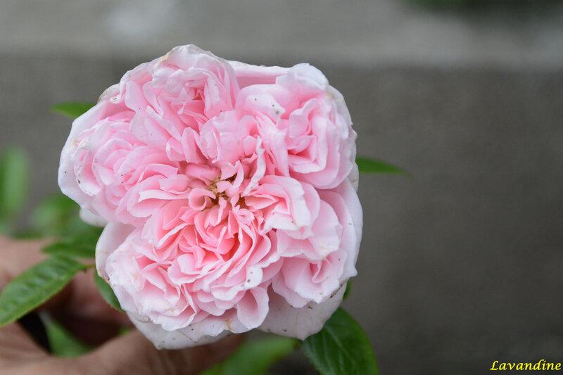 fleurs du jardin 06 18 (3)