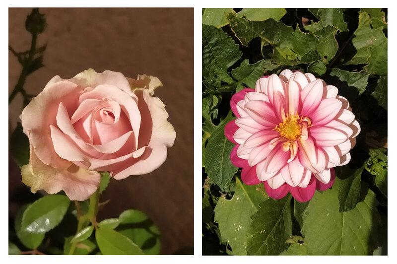 dalhia et rose