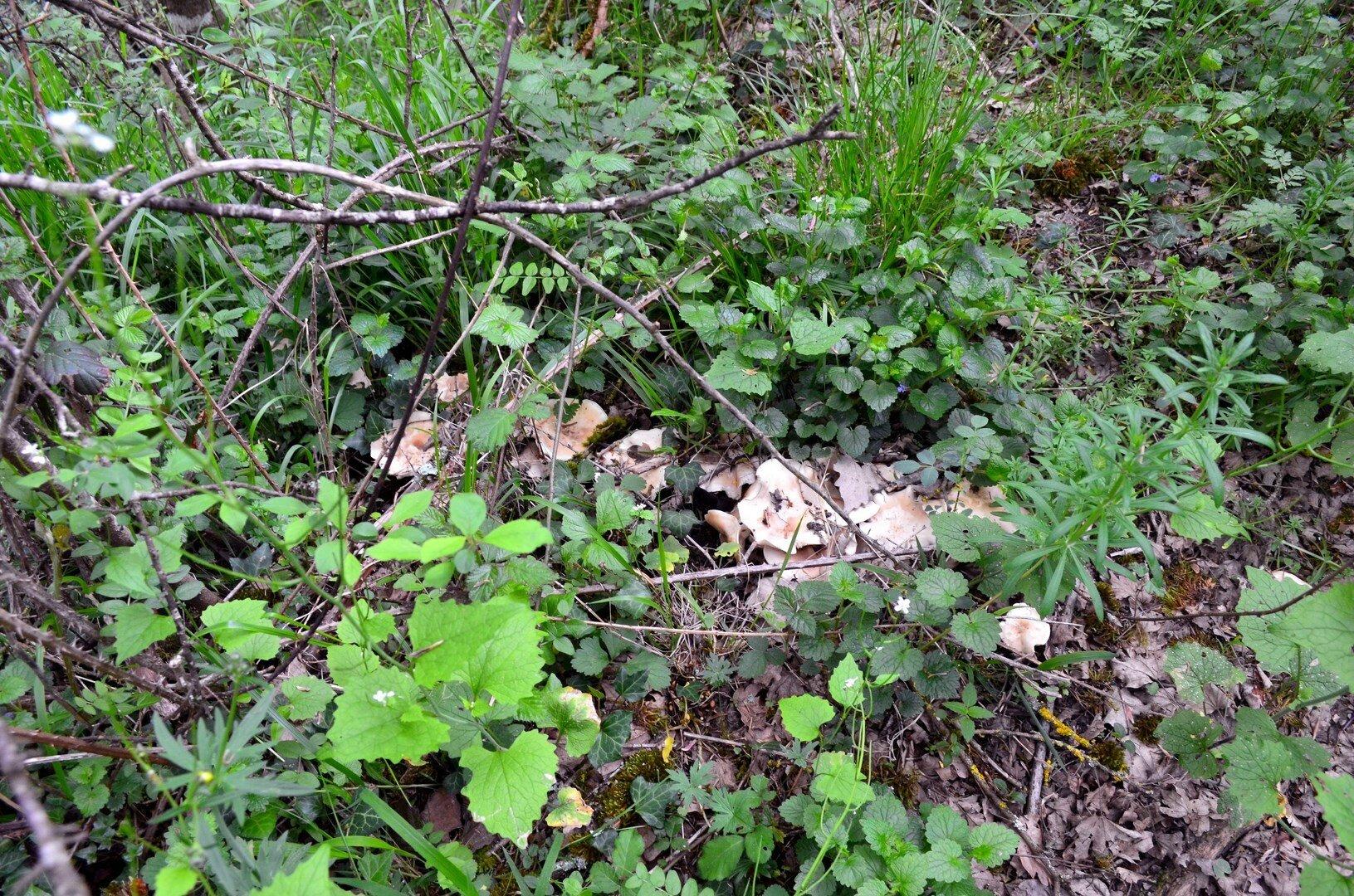 Des mousserons en cercle, étagés sous les prunelliers...