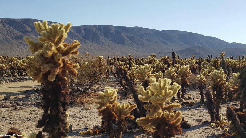 Cholla cactus gardens 2