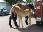 Gazou du Marais, par Valdec du Marais et Brune du Marais 3 - 14 Juin 2016 - Concours d'élevage local - Marquise
