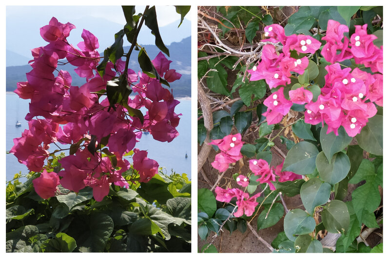 24 Bougainvilliers