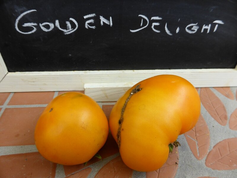 17-tomates golden delight- (1)