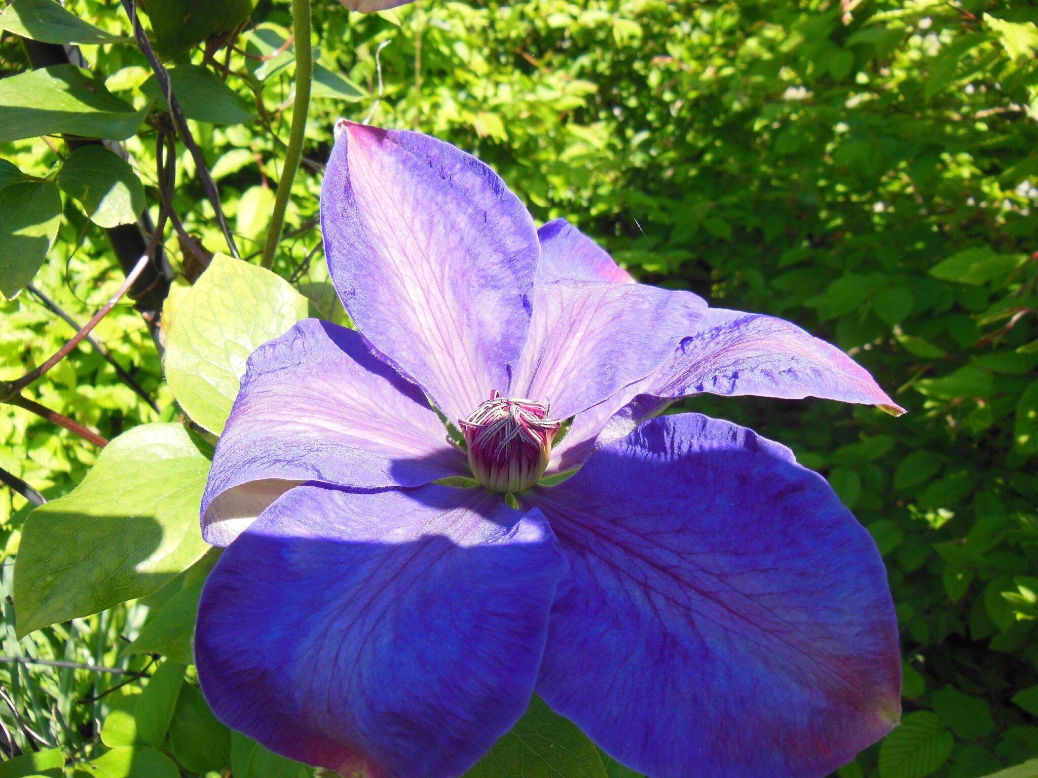 Fleur de clématite